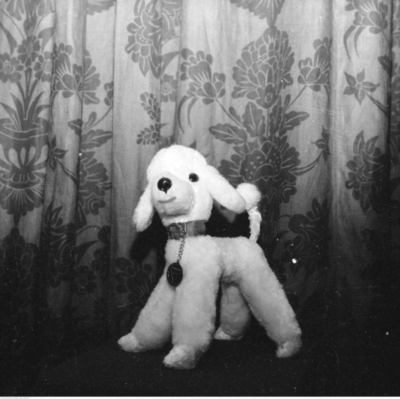Pies-zabawka na tle zasłony. Widoczna obroża i medalion na szyi