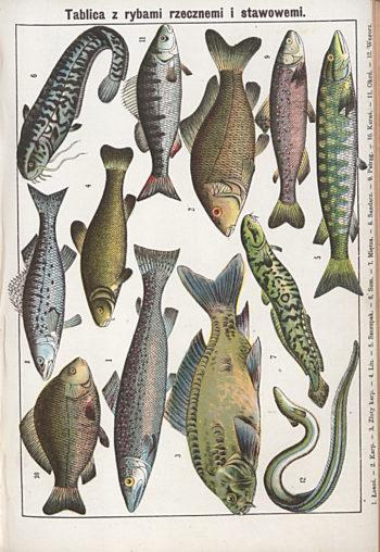 Kolorowe rysunki wystęujących w Polsce ryb.